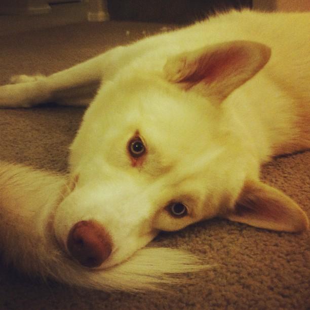 Zander My Siberian Husky